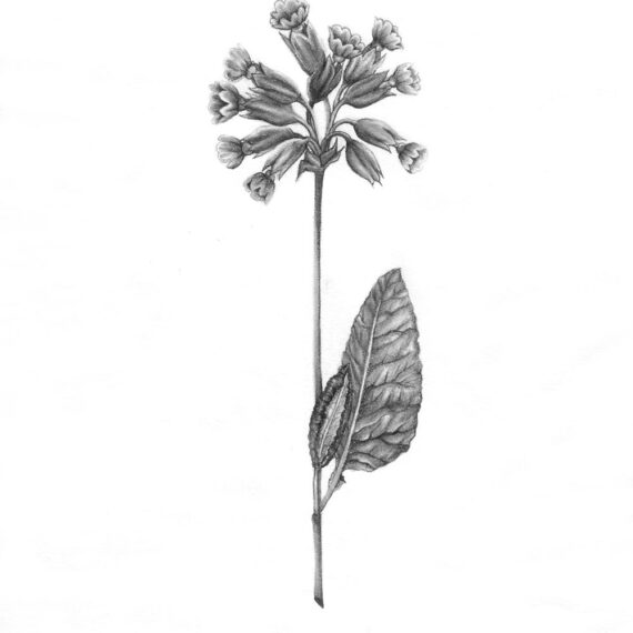 Cowslip flower drawing in graphite and white charcoal