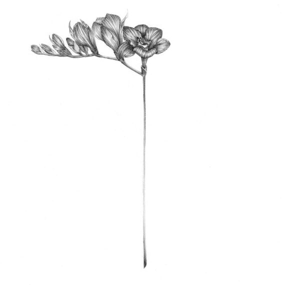 Freesia Flower in graphite and white charcoal