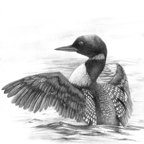 Loon bird drawing in graphite based on a photograph by Kevin Biskaborn.