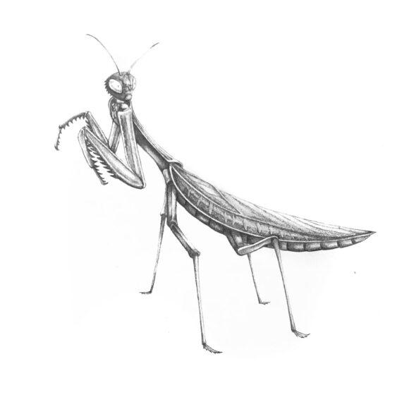 Praying Mantis found in Italy