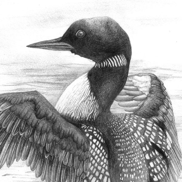 Drawing Nature Featured Image of a Loon bird in graphite